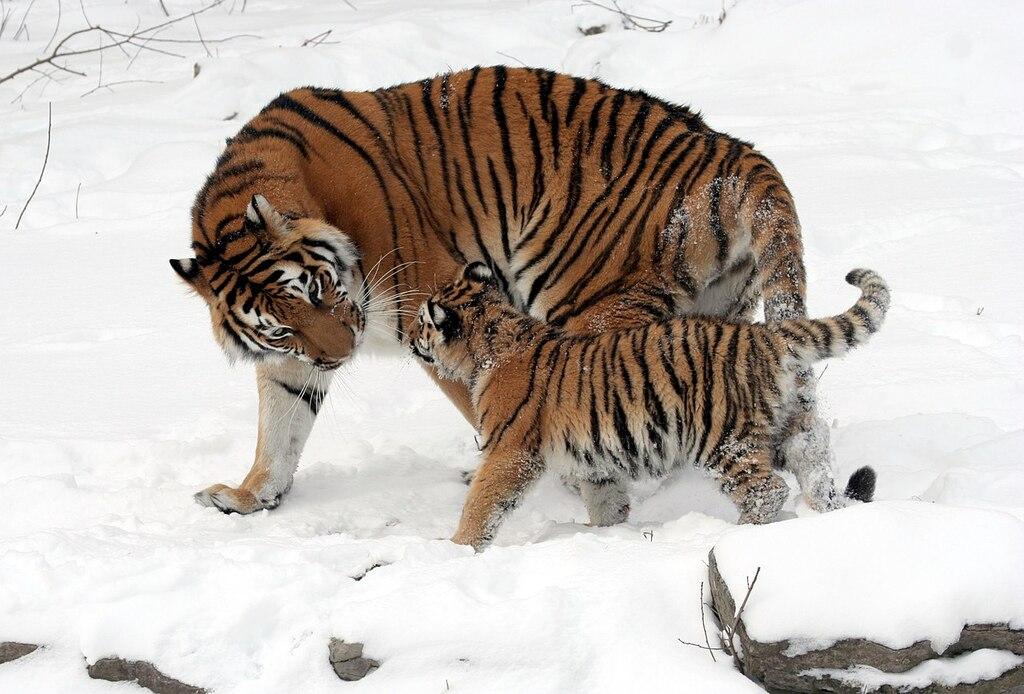 1280px-Panthera_tigris_altaica_13_-_Buffalo_Zoo.resized